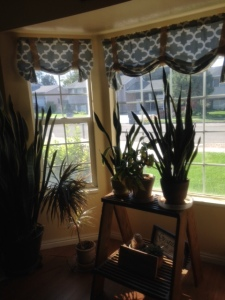 Part of my front room garden. I have two other house plants stands in the front room with great west facing light