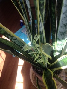 "Snake Plant, also known as a ""Mother in-Laws' Tongue"" plant is one of my favorite house plants. This one is mature enough to have seeds forming."